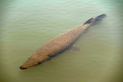 alligator_gar_swim