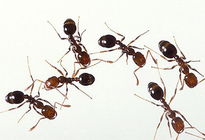 fire_ants_overall